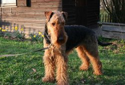 race airedale-terrier